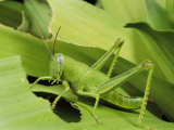 Grasshopper Eating a Leaf