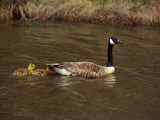 A Canada Goose is Followed by Two Goslings in the Water