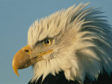 Profile View of a Bald Eagle