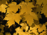 Maple Tree Leaves Have Turned a Bright Yellow in the Fall