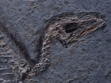 Detail of Fossil Head (Sinosauropteryx Prima)  120 Million Years Old  Evolution of Birds  China