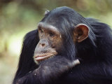 A Close-up of One of the Many Chimpanzees That were Studied by Researcher Jane Goodall
