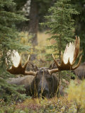 A Moose at Rest in Denali National Park