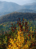 Autumn Colored Cherry Tree with View of Blue Ridge Mountains