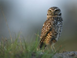 Burrowing Owl in its Grassland Habitat