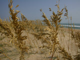 Sea Oats  Vital Plants That Anchor Sand Dunes  Blow in the Breeze