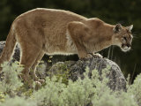 Mountain Lion Watches its Territory from a Rock