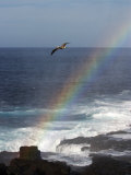 A Blue Footed Booby Soars Above a Rainbow on Espanola Island
