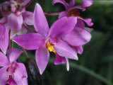 Cluster of Purple Orchids of the Spathoglottis Type