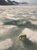 A Polar Bear Walks Across the Pack Ice of Svalbard Archipelago