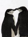 A Pair of Chin Strap Penguins Rub Beaks