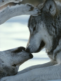 Two Gray Wolves Touch Noses during a Tender Moment