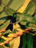Hummingbird on a Branch in Amazonia