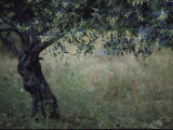 Flowering Olive Tree Growing in a Field