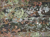 Lichen Colorfully Splattered on Tree Trunk in Allegheny Mountain Area of West Virginia