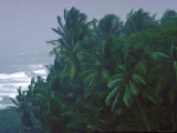 Coconut Trees Swaying in Wind From Approaching Storm on Dominica