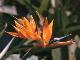 Hawaiian Flora: Bird of Paradise  Member of the Banana Family