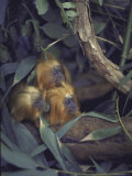 Golden Lion Tamarins Peeking Out From Hiding Place in Rain Forest