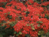 Hawaiian Flora: Royal Poinciana or Flamboyant Flower