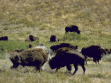 Herd of Bison Roaming Across National Bison Range