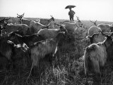 Farmer under Umbrella in Countryside with His Goats