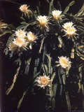 Hawaiian Flora: Night Blooming Cereus