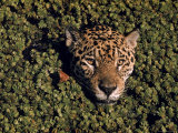 Jaguar Poking Its Head Through Plant Clogged Pool  Brazil