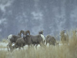 Bighorn Sheep Grazing in Idaho Primitive Area