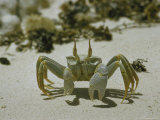 Ghost Crab Sidling Along Beach of Cocos Islands