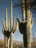 Giant Saguaro Cacti Growing During Springtime at the Saguaro National Monument  Near Tucson