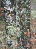 Lichen and Maple Leaves Adhere to a Tree Near Cheat River