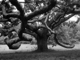 Giant Oak Tree on Martha&#39;s Vineyard
