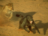 Leopard Chasing Terrified Baboon Across the Sands of the Kalahari Desert