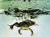 Frog Jumping Into an Aquarium