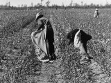 African American Farm Workers Picking Cotton
