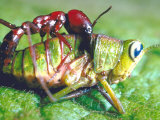 Close Up Side View of a Driver Ant Attacking a Grasshopper  Africa