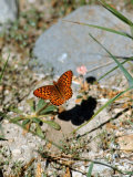 Close Up of Butterfly in Lassen Volcanic National Park