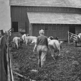 Woman Driving Cows Into a Barn
