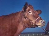 Close Up of a Red Poll Cow