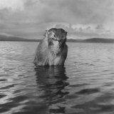 Rhesus Monkey Sitting in Water Up to His Chest Papier Photo par Hansel Mieth