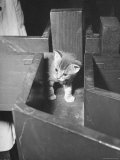 Kitten Walking Through a Maze During Psychological Testing at Brooklyn College