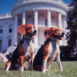 Him and Her  Pet Beagles of President Lyndon B Johnson  Sitting Together on Lawn of White House