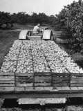 Farmer Driving a Tractor with a Load of Freshly Harvested Peaches in Crates