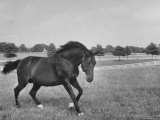 Famous Stallion Horse  Bull Lea  Used For Breeding Purposes on Calumet Farm