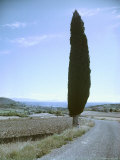 Lone Cypress Tree Along Road in Provence
