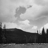 Sheep Grazing in Mountain Pasture