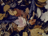 Forest Floor at Mettle&#39;s Woods in Fall with Varied Colored Leaves Covering Ground