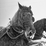 Frosted Horse Rests After Pulling a Sled Loaded Down with Firewood