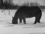 Foraging Horse Digs His Nose Deep Into the Snow to Crop a Few Blades of Grass