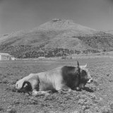 Bull in Field of Valley at Foot of Hilltop Town of Rignano